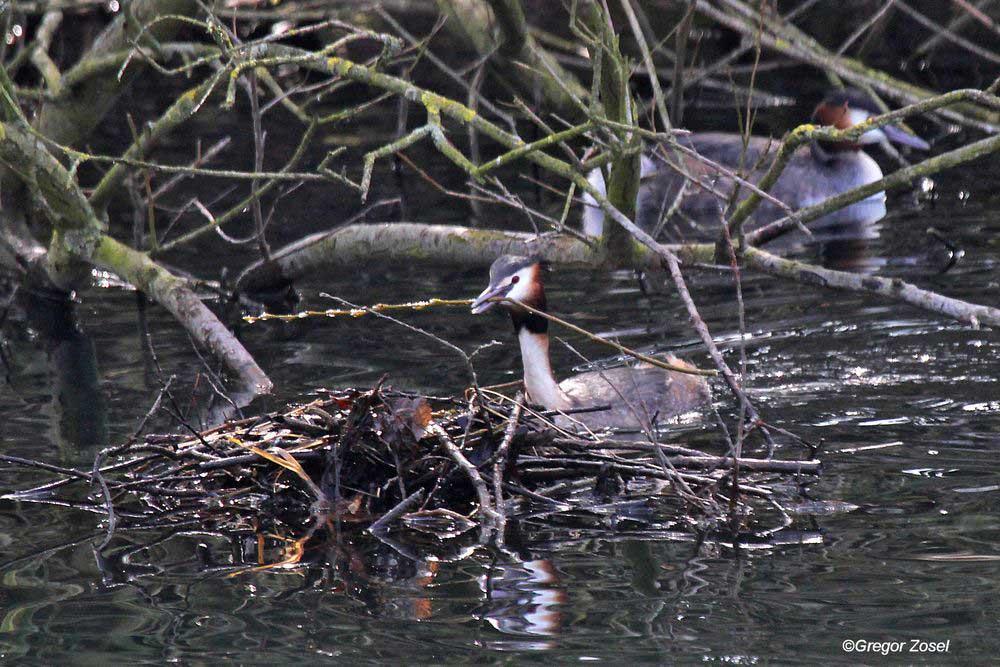 Haubentaucherpaar baut bereits am Nest unterhalb des Wehres....am 02.03.14 Foto: Gregor Zosel