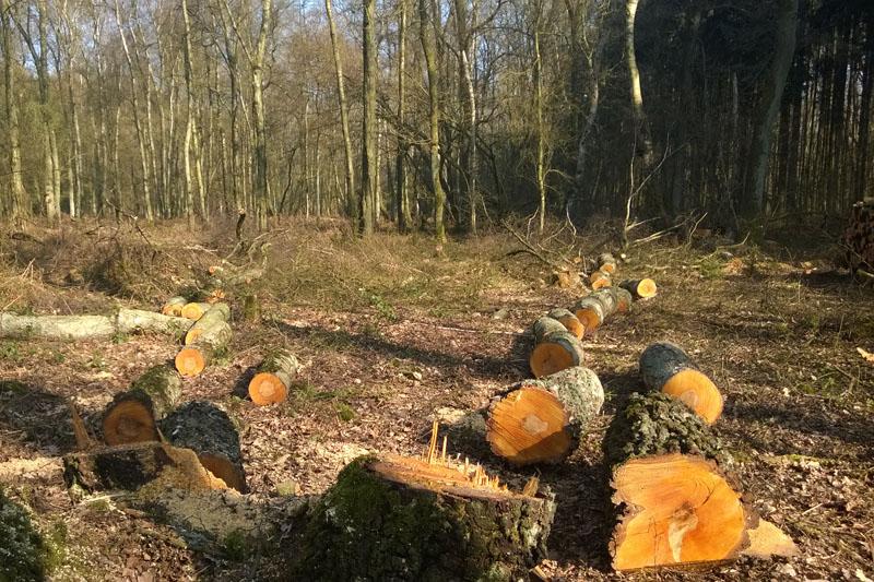Alte gefällte Birken im Hemmerde Schelk am 14.03.2014 Foto: Marvin Lebeus