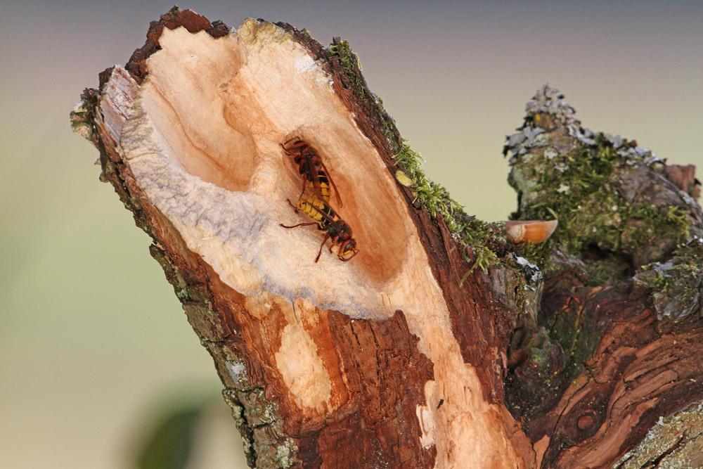 Die `Hornissenbaustelle´ am morschen Birnbaum-Ast sieht aus, als wäre hier ein Sandstrahler zum Einsatz gekommen, 03.09.2014 Foto: Bernhard Glüer