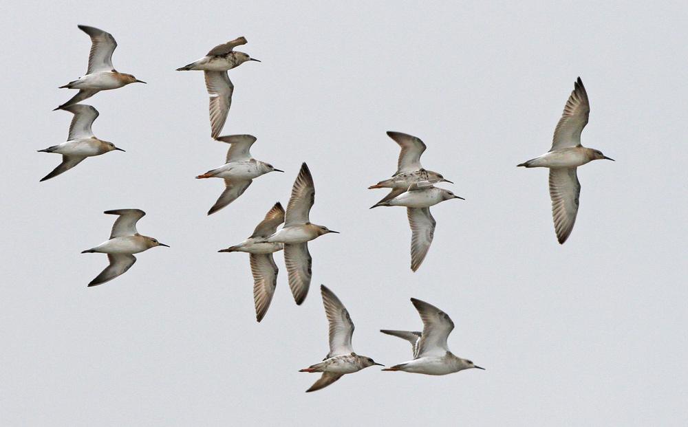 Der längere Schnabel und die den Schwanz überragenden Füße unterscheiden sie schon im Flug von Regenpfeifern, 26.08.2014 Foto: Bernhard Glüer