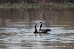 Kanadagans-Paarung am 13.03.2014 Foto: Philipp Aschersleben