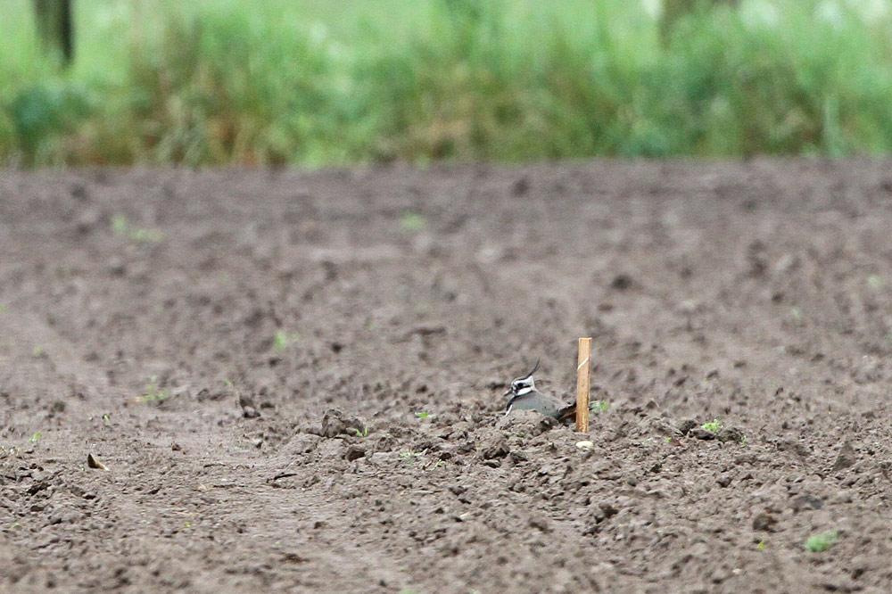 Hinsichtlich möglicher Prädatoren problematisch: bei der Feldbearbeitung ausgespartes Kiebitzgelege mit Markierung - leider etwas nah dran (ca. 1m), 27.04.2014 Foto: Bernhard Glüer