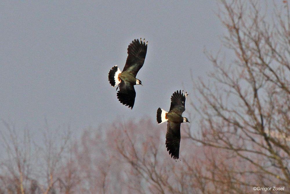 Balzflüge über der Kiebitzwiese...am 12.03.14 Foto: Gregor Zosel