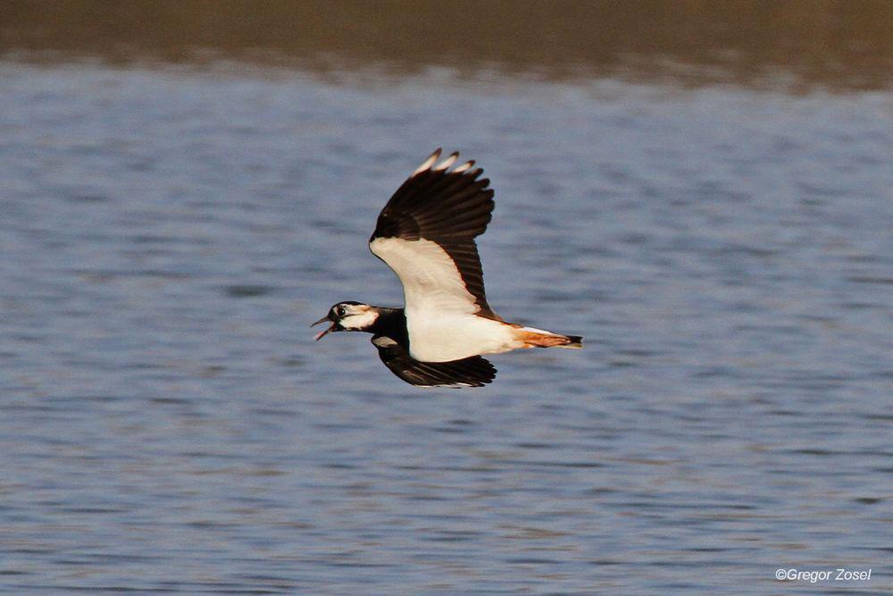 Weit erklingt der Ruf des Charaktervogel des NSG......am 12.03.14 Foto: Gregor Zosel
