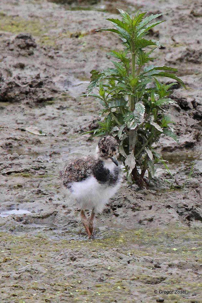 Die Rückkehr der Kiebitze. Kiebitzjungvogel am Aussichtshügel...am 14.06.14 Foto: Gregor Zosel