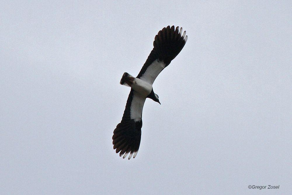 Überall über der Vernässungsfläche und den angrenzenen Feldern sind die eindrucksvollen Balzflüge zu bewundern.....am 22.03.14 Foto: Gregor Zosel