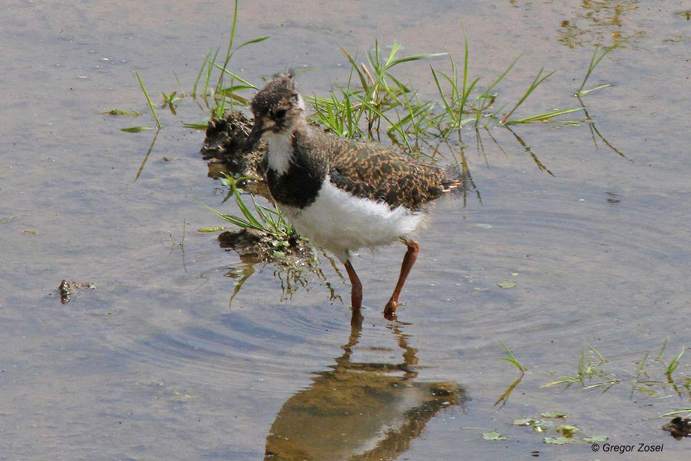 Die Kiebitzjungvögel haben nun eine Größe erreicht, wo sie nicht mehr vor jedem Greifvogel flüchten müssen .....am 22.06.14 Foto: Gregor Zosel