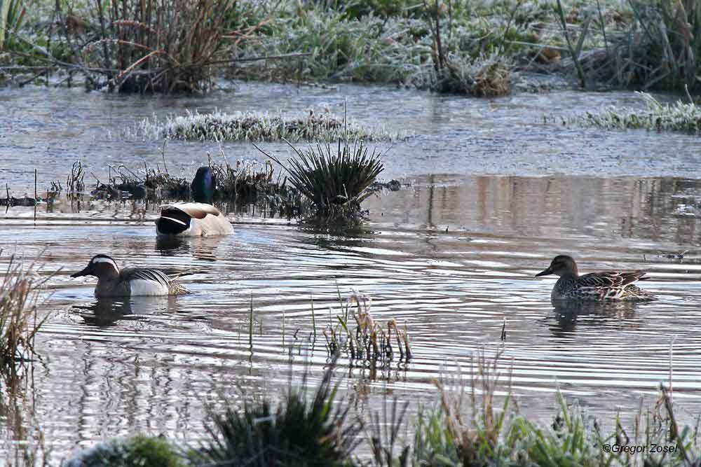 Knäkentenpaar im teilweise gefrorenen Bereich am Flößergraben...am 26.03.14 Foto: Gregor Zosel