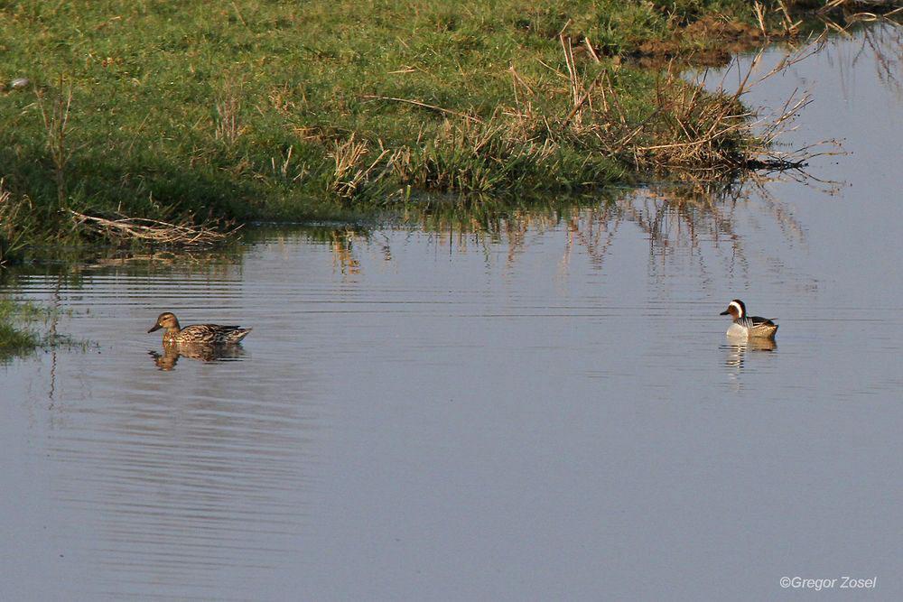 Das Knäkentenpaar fühlt sich wohl auf der Vernässungsfläche...am 29.03.14 Foto: Gregor Zosel