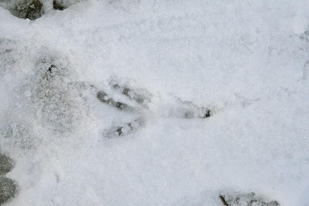 Zum Vergleich: der Abdruck eines Krähenfußes mit ausgeprägter Hinterzehe, 30.12.2014 Foto: Bernhard Glüer