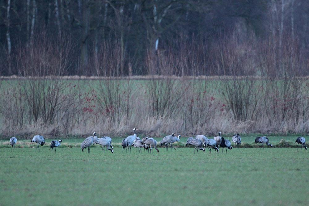 Kraniche nahe den Hemmerder Wiesen - in der Mitte ein farbberingter Jungvogel, 27.01.2014 Foto: Bernhard Glüer