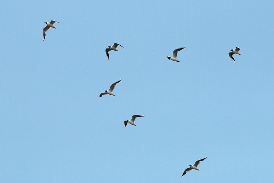 Der typische Zugvogel Lachmöwe?!? Bergkamen-Heil am 26.06.2014 Foto: Günter Reinartz