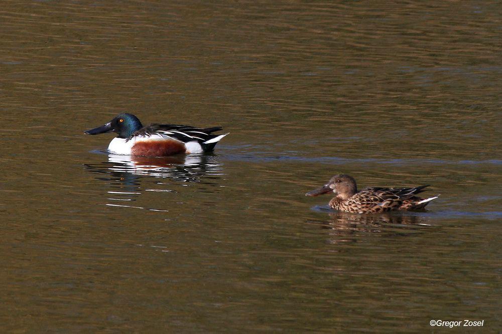 Löffelentenpaar. Zusammen mit den Schnatterenten auf fast jeder Wasserfläche anzutreffen....am 28.03.14 Foto: Gregor Zosel