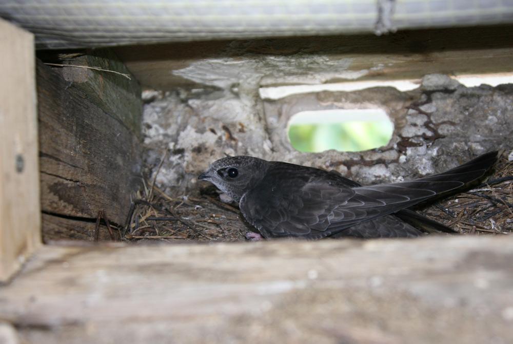 Geduldig wartet der junge Mauersegler in der Nisthöhle auf die nächste Fütterung und den Tag der `Abreise´ in den sonnigen Süden, wo die meisten der Artgenossen längst sind, 23.08.2014 Foto: Bernhard Glüer