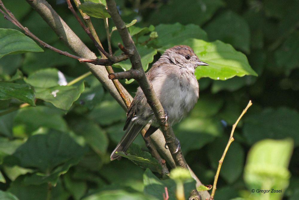 Im Geäst der Bäume am Aussichtshügel auch heute neben vielen Singvögeln auch junge Mönchsgrasmücken.....am 25.08.14 Foto: Gregor Zosel