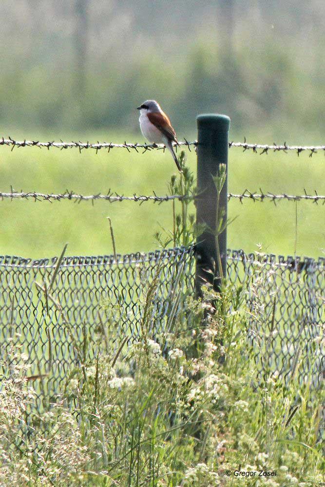 Das Neuntötermännchen vom Flößergraben profitiert von der Wiesenmahd im Hammer Wasserwerk. Vom Zaun aus geht es auf Jagd....am 01.06.14 Foto: Gregor Zosel