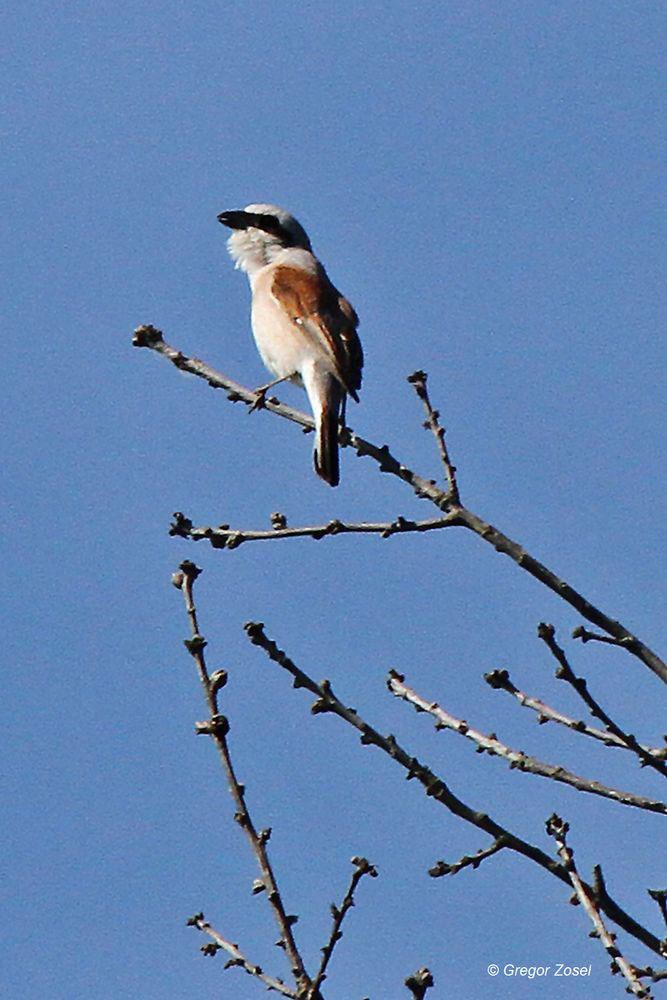 Später singt von einem Baum nahe des Heckrindstalles....am 25.05.14 Foto: Gregor Zosel