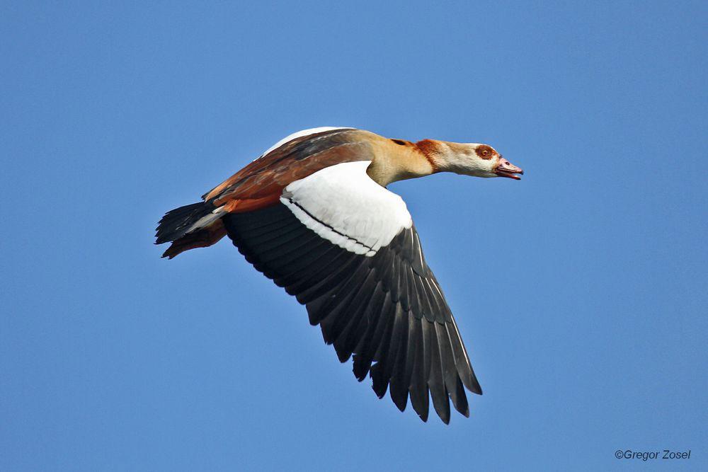 Nilgans fliegt auf die Kiebitzwiese ein.....am 26.03.14 Foto: Gregor Zosel