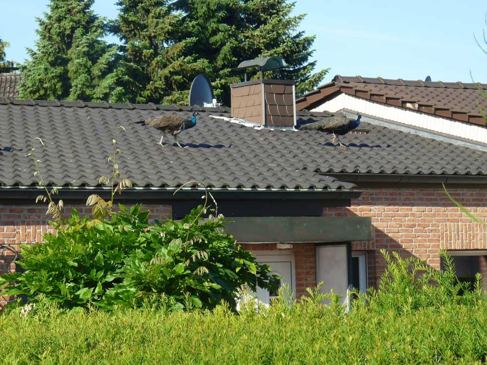 . . . und auf den Dächern der Nachbarhäuser, Fröndenberg am 06.06.2014 Foto: Nina Holt-Lehnemann