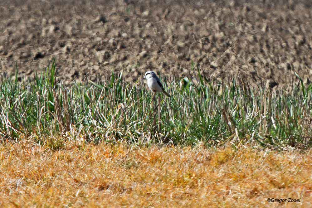 Ein Randstreifen zwischen den Feldern dient als Ansitz für den Raubwürger...am 25.03.14 Foto: Gregor Zosel