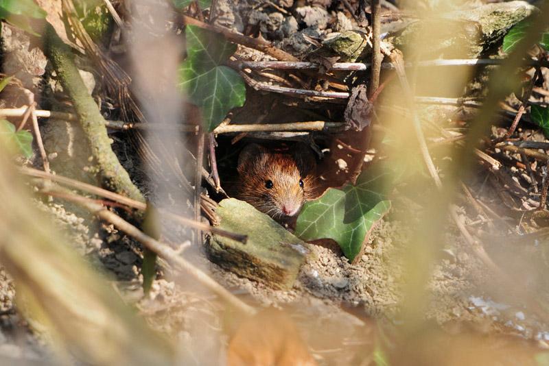Im Unterholz versteckt sich eine Rötelmaus am 06.03.2014 Foto: Marvin Lebeus