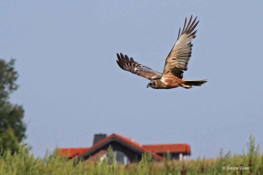 Rohrweihe jagt über der Feldflur am Neuenkamp....am 28.08.14 Foto: Gregor Zosel