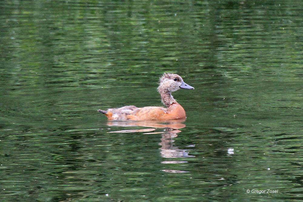 ...zur selben Zeit schwimmen die hässlichen jungen Gänslein unbeeindruckt ihre Runden auf der Ruhr.....am 07.06.14 Foto: Gregor Zosel