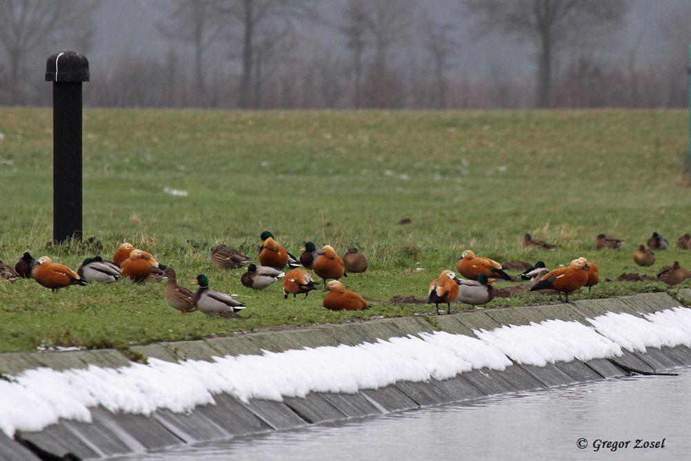 Rostgänse und Stockenten im Hammer Wasserwerk.....am 30.12.14 Foto: Gregor Zosel