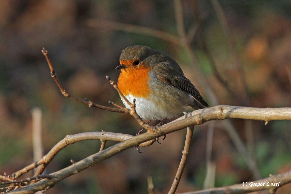 Machten sich heute bei der eisigen Kälte nicht durch ihre Rufe bemerkbar. So blieben die Zahlen bei vielen Kleinvögel, wie hier beim Rotkehlchen, unter meiner Erwartung.....am 28.12.14 Foto: Gregor Zosel
