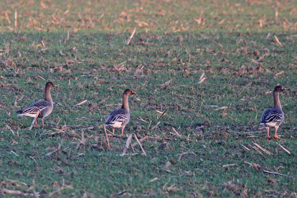 Zuerst entdeckte ich die Saatgänse auf dem Feld nahe des Ponyhofes.......am 28.12.14 Foto: Gregor Zosel