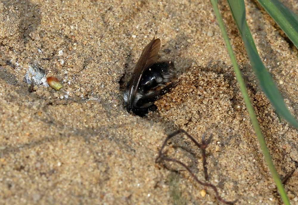 Sandbiene in der Lippeaue bei Bergkamen am 27.03.2014 Foto: Günter Reinartz