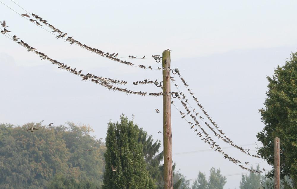 Respektable Ansammlung von Schwalben bei Hemmerde-Dreihausen..., 02.09.2014 Foto: Bernhard Glüer