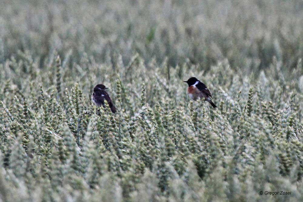 Hat im Hemmerder Ostfeld nun doch wieder ein paar Schwarzkehlchen gebrütet?...am 25.06.14 Foto: Gregor Zosel