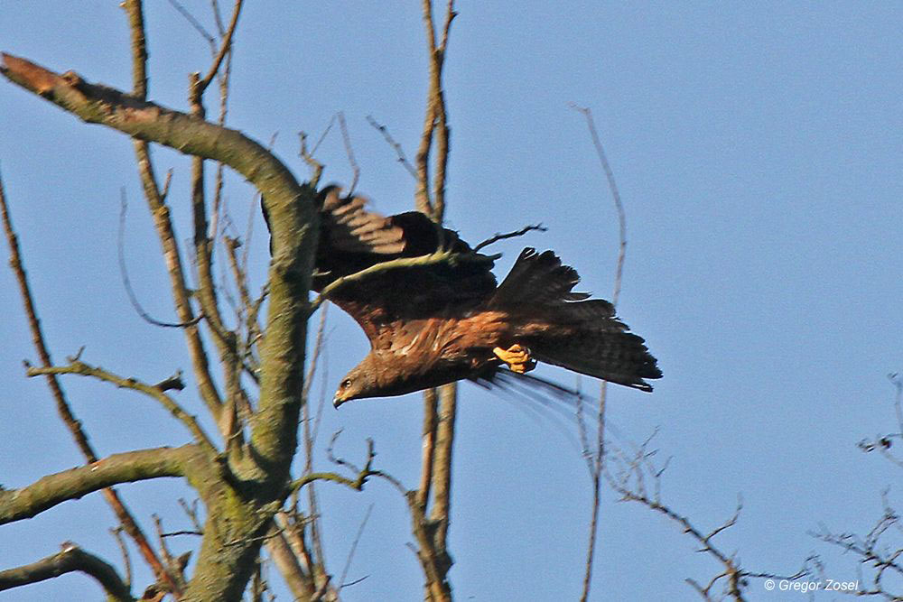 ...bevor er dann zum Jagdausflug startet...am 07.06.14 Foto: Gregor Zosel