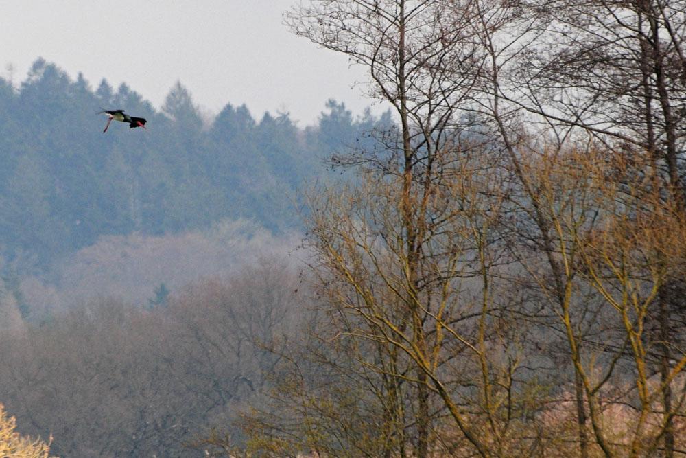 Landeklappen sind ausgefahren - Schwarzstorch im Landeanflug am 23.03.2014 Foto: Marvin Lebeus