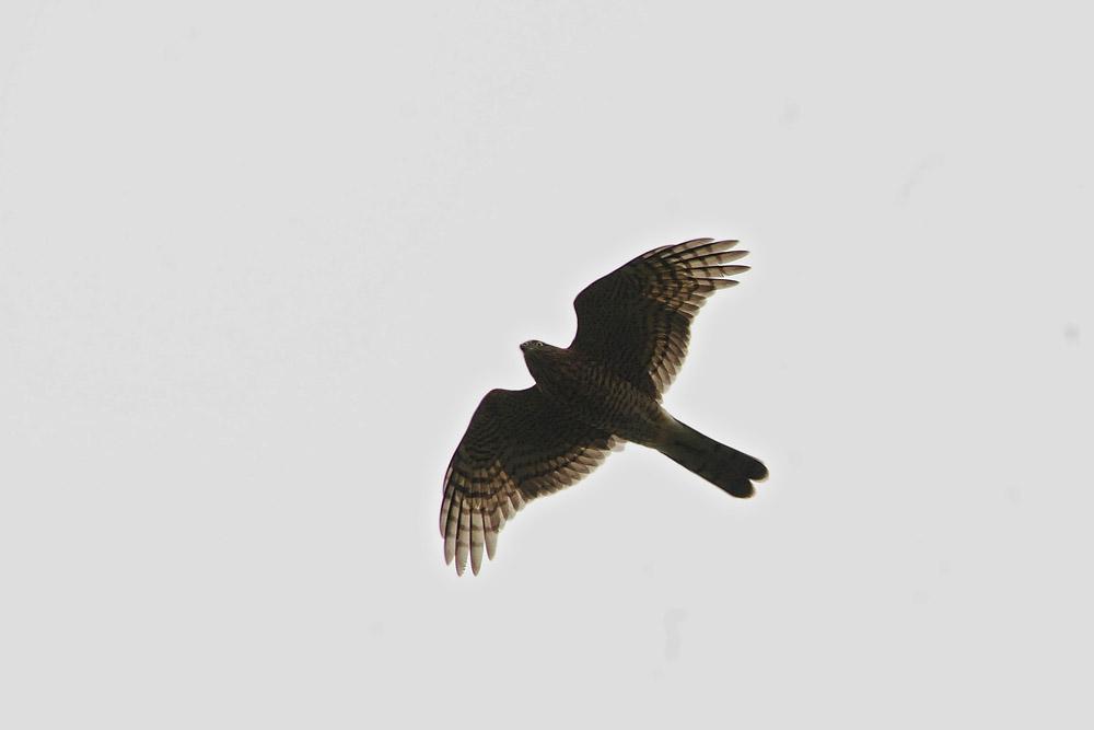 Zwischenzeitlich taucht öfters ein Sperber auf und fliegt dicht an den eher desinteressierten Falken vorbei am 04.09.2014 Foto: Marvin Lebeus