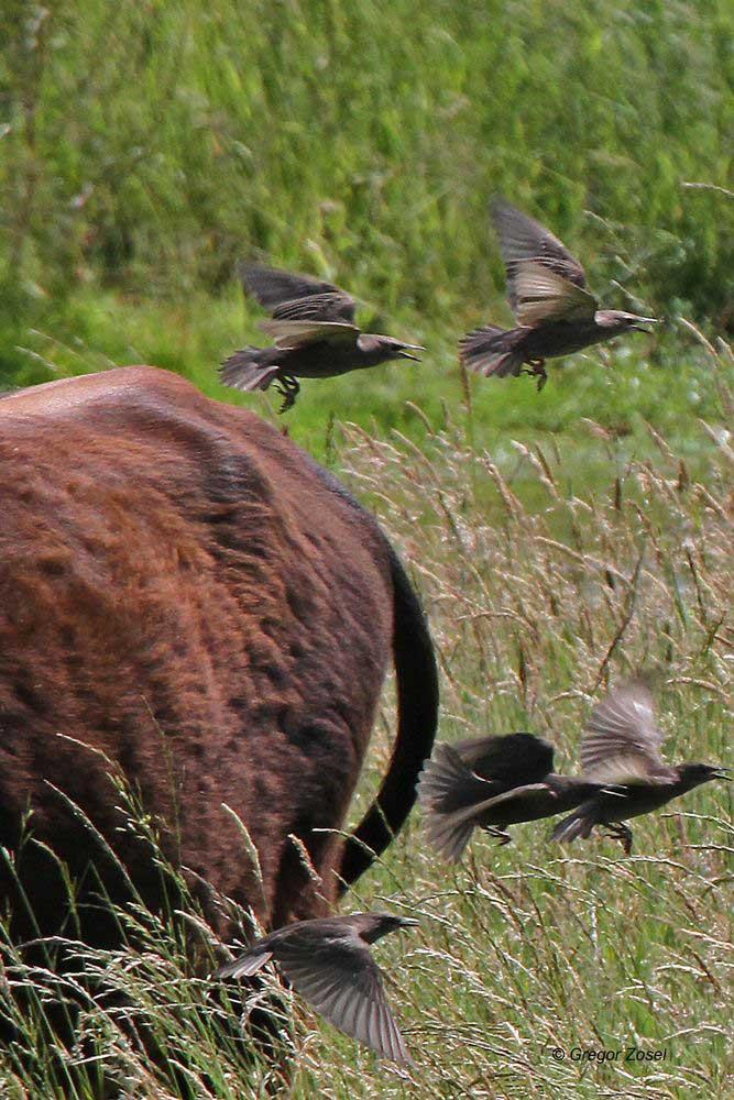 Jungstare stets bei der Heckrindherde, um hier meist Fliegen und Schnaken zu erhaschen...am 10.06.14 Foto: Gregor Zosel