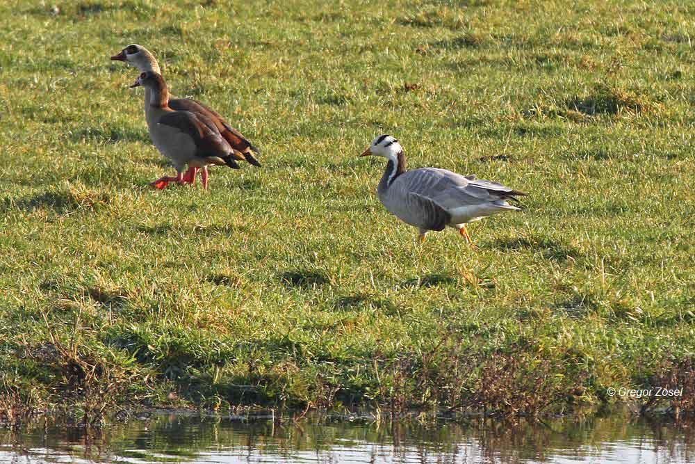Streifengans stets zusammen mit den Nilgänsen......am 29.11.14 Foto: Gregor Zosel