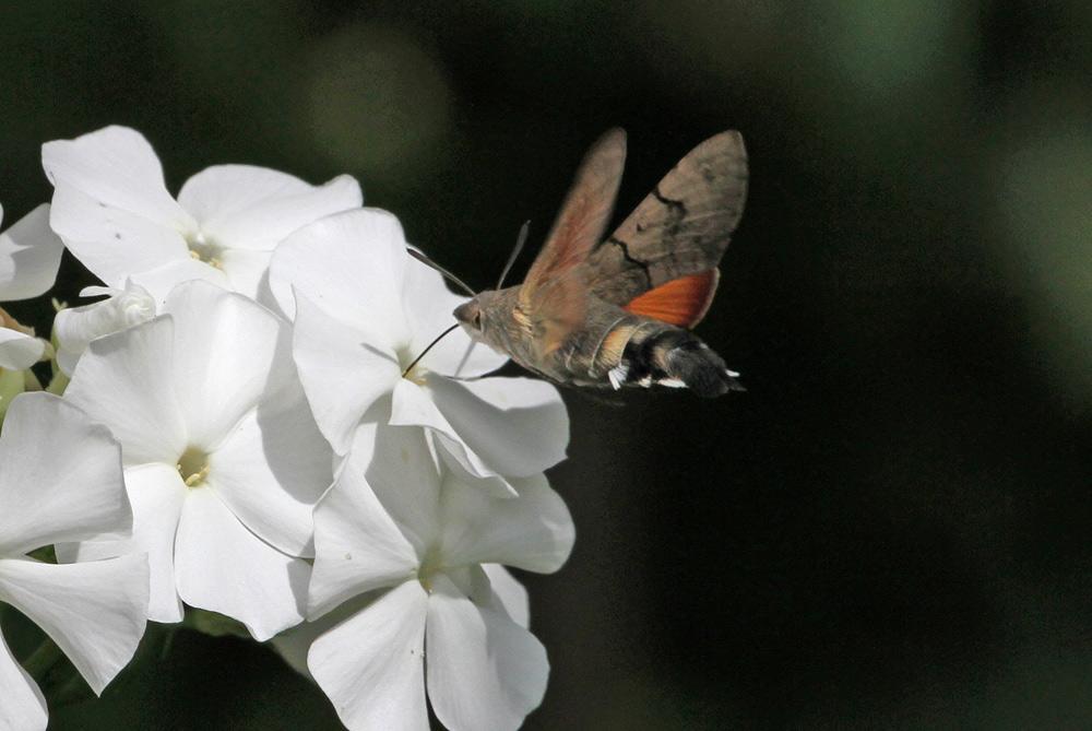 Wie ein Kolibri steht das Taubenschwänzchen vor den Phloxblüten..., 22.08.2014 Foto: Bernhard Glüer
