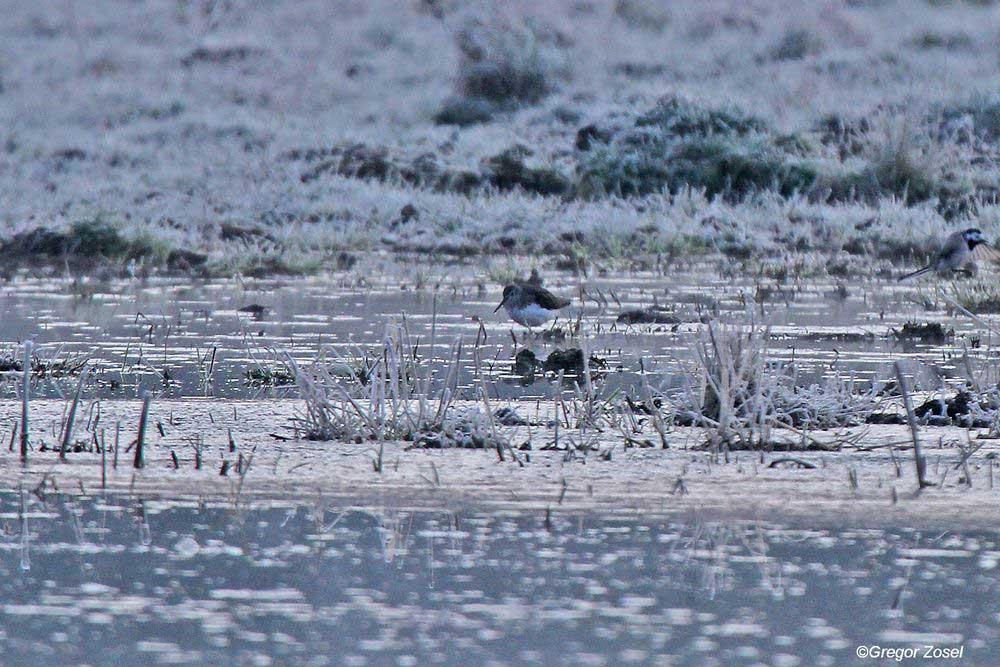 Waldwasserläufer im Morgengrauen auf der vereisten Vernässungsfläche am Wehr...am 26.03.14 Foto: Gregor Zosel