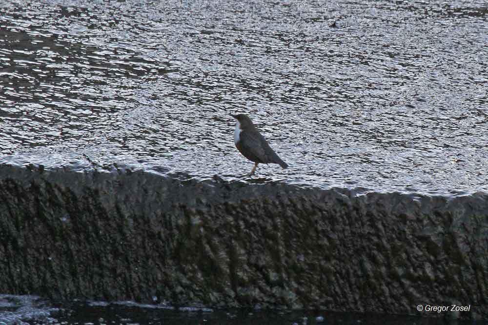 Wasseramsel am Überlauf des Wehres......am 22.11.14 Foto: Gregor Zosel