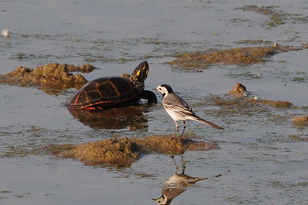 Eine Wasserschildkröte, da staunt die Bachstelze auch nicht schlecht am 09.06.2014 Foto: Marvin Lebeus