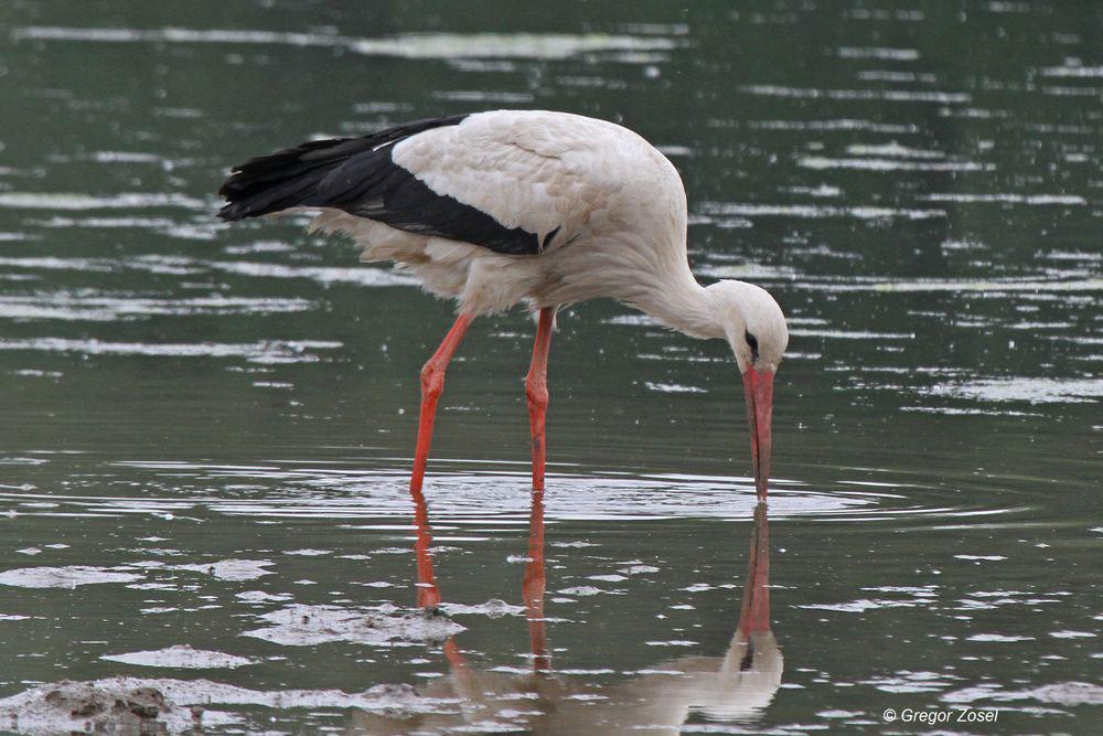 Weißstorch füttert Spiegelbild oder doch umgekehrt?........am 01.06.14 Foto: Gregor Zosel