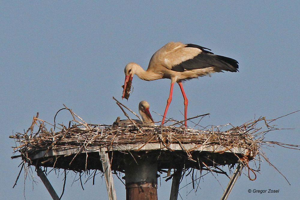 Nestfürsorge verbindet....am 07.06.14 Foto: Gregor Zosel