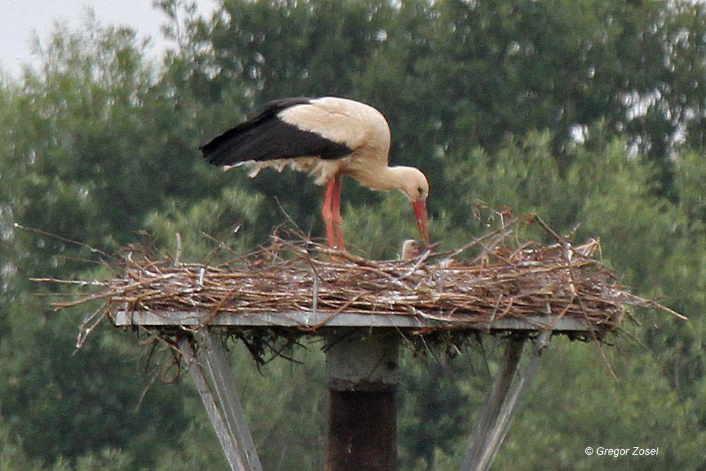 Nur kurz erscheint der Kopf des Weißstorchjungvogels ....am 17.06.14 Foto: Gregor Zosel