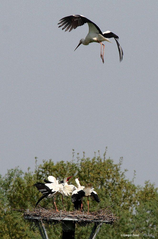 Mit lautem Geklapper wird ein dritter Weißstorch vertrieben....am 25.04.14 Foto: Gregor Zosel