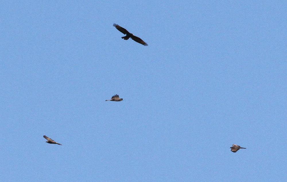 Eine kleine Gruppe versucht kreisend an Höhe zu gewinnen, 28.08.2014 Foto: Bernhard Glüer