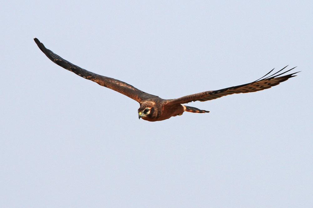 ...einer von mindestens 2 Jungvögeln folgt schon elegant, 28.07.2014 Foto: Bernhard Glüer