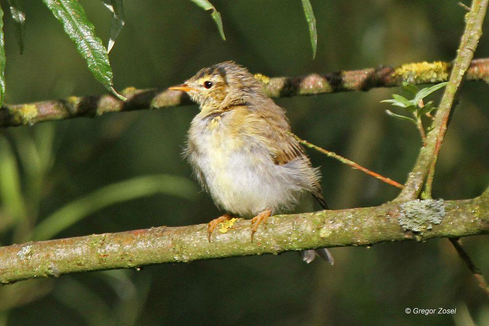 In den Büschen, Bäumen und Hecken sind nun überall Jungvögel zu entdecken, wie hier ein junger Zilpzalp .....am 22.06.14 Foto: Gregor Zosel