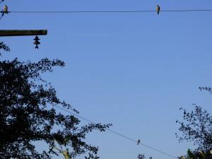 Alle drei Jungvögel auf einem Foto am 30.09.15 Foto: Hartmut Peitsch